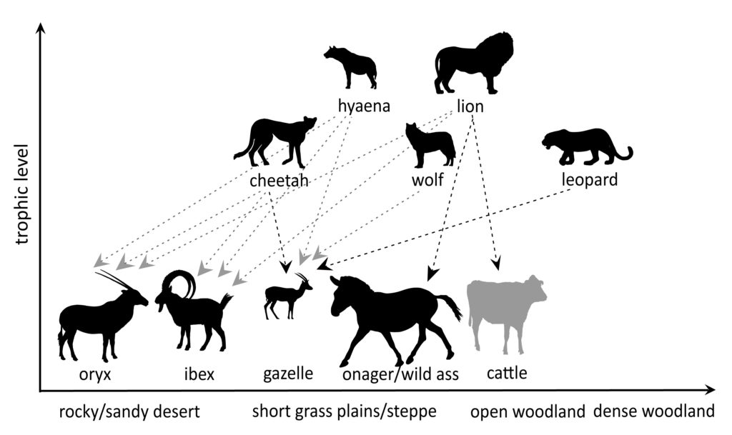 Habitat and prey preferences (based on mass) for a hypothetical Shuwaymis community for the early period of rock art. Preferred prey in black lines and prey taken relative to abundance in grey lines. Cattle are indicated in grey